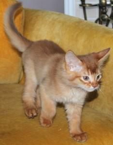 chaton somali sorrel