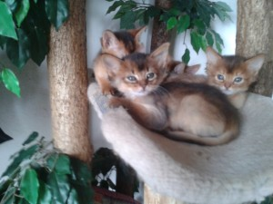chaton somali mâle lièvre