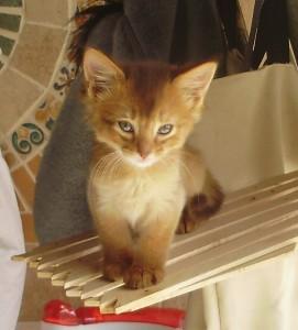chaton femelle somali chocolat