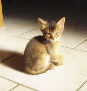 chaton mâle somali lièvre