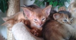 chaton mâle abyssin chocolat
