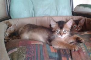 chaton somali femelle lièvre